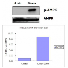 Adipogen/CTRP5 (human) (rec.) (His)/AG-40A-0142-C050/50 µg